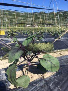 亀岡農場の夏野菜 6月 その1