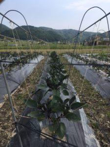 亀岡農場の夏野菜 6月 その2