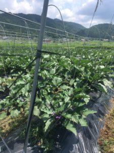亀岡農場の夏野菜 7月 その3