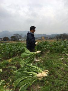 1月のおつけものの日の「すぐき」収穫