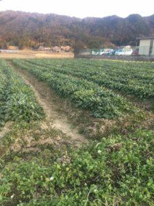 黒壬生菜の収穫です。