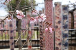 京都嵐山 桜情報!!