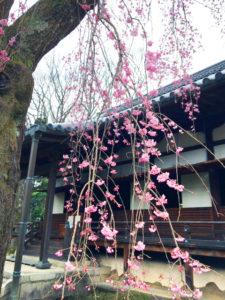 世界遺産「醍醐寺」の桜