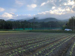 京都伝統野菜の青味大根。