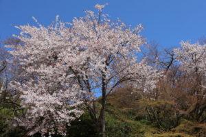 京都桜だより in龍安寺